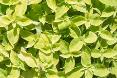 Bright yellow-green leaves background. Top view. Text space Stock Image