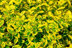 Bright yellow green leaves of Euonymus fortunei' Emerald `n` Gold' background. Selective focus. Bright yellow green leaves of Euonymus fortunei Emerald n Stock Photos