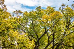 Bright Yellow, Green Trees against Blue Cloudy Sky Stock Photo
