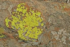 BRIGHT YELLOW GREY-GREEN AND WHITE LICHEN GROWING ON ROCK. Large textured rock covered with bright yellow rust  and grey-green lichen growth Stock Images