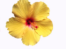 Bright Yellow Hawaiian Hibiscus Flower stock photography