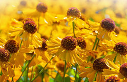 Bright yellow helenium flowers Royalty Free Stock Photography