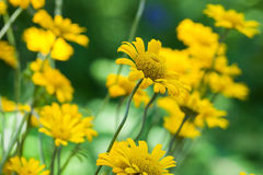 Bright yellow helenium flowers in the garden Stock Photo