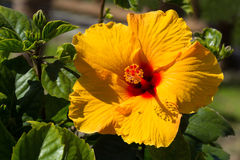 Bright yellow hibiscus blossom Royalty Free Stock Image
