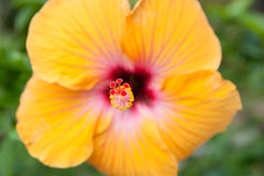 Bright yellow hibiscus flower closeup Royalty Free Stock Images