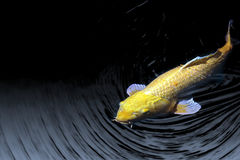 Bright Yellow Koi Emerges from Ripples Royalty Free Stock Photography