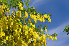 Bright yellow laburnum under the blue sky Stock Image