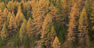 Bright Yellow Larch Tree Forest At Good Weather Day In Fall Season Stock Photo