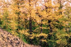 Bright yellow larch trees in the mountain valley. Autumn weather stock photo