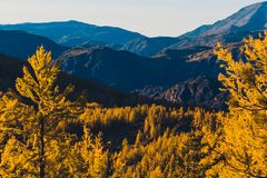 Bright yellow larch trees in the mountain valley. Royalty Free Stock Photos