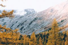 Bright yellow larch trees in the mountain valley. Autumn weather royalty free stock image