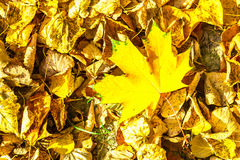 Bright Yellow Leaf of Maple Against Dry Leaves Royalty Free Stock Photos