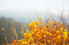 Bright yellow leaves. On bush, misty background Royalty Free Stock Photography