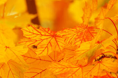 bright yellow leaves Royalty Free Stock Photography