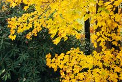 Bright Yellow Leaves of Autumn on the Branches of a Tree stock photos