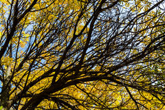 Bright Yellow Leaves in Autumn Royalty Free Stock Images