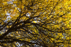 Bright Yellow Leaves in Autumn Royalty Free Stock Image