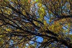 Bright Yellow Leaves in Autumn Royalty Free Stock Photos