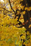 Bright Yellow Leaves of Autumn royalty free stock images