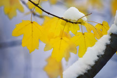Bright yellow  leaves covered in snow. Bright yellow  leaves covered with fluffy snow-white snow weightless. Soft focus blur. Art photo.  Lovely view of the Royalty Free Stock Image