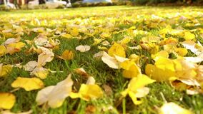 Bright yellow leaves on green grass in autumn. City park. Fall leaves on the green grass under sunbeams, close-up. Bright yellow leaves on green grass in autumn stock footage