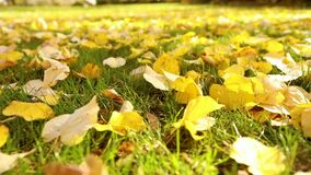 Bright yellow leaves on green grass in autumn. City park. Fall leaves on the green grass under sunbeams, close-up. Bright yellow leaves on green grass in autumn stock video footage