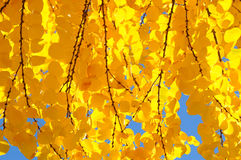 Bright Yellow Leaves of the Katsura Tree Stock Image