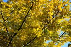 Bright yellow leaves on the tree Stock Photography