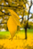 Bright yellow leaves on a tree in a park at autumn Royalty Free Stock Photo