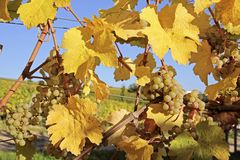 Bright yellow leaves in vineyard Stock Photo