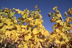 Bright yellow leaves in vineyard Royalty Free Stock Images