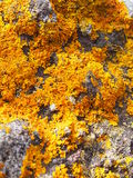 Bright yellow lichen on grey stone Stock Photos