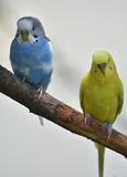 Bright Yellow and Light Blue Budgie in a Tree Royalty Free Stock Image