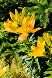 Bright yellow lilies emit light in the sun under branches of prickly fir. For your design royalty free stock images