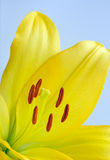 Bright yellow lily Stock Images
