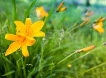 Bright yellow lily Royalty Free Stock Photos