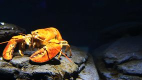 A bright yellow lobster moves underwater. In a rocky setting stock video