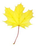 Bright Yellow Maple Leaf Royalty Free Stock Photos