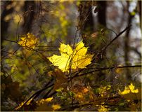 Bright yellow maple leaf in autumn park stock images