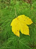 Bright yellow maple leaf fell down on fresh green stems of horsetail. Royalty Free Stock Image