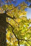 Bright yellow maple leaves. Dark maple trunk and bright yellow leaves from low angle view Stock Photography
