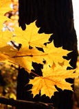Bright yellow maple leaves Royalty Free Stock Image