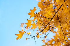 Bright yellow maple leaves. Yellow autumn leaves on a maple tree against bright blue sky Royalty Free Stock Photography