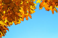 Bright yellow maple leaves against the blue sky; place for your text Stock Images