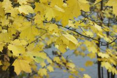 Bright yellow maple leaves in the autumn. Yellow maple leaves on the branches with the river seen through them. Concept of autumn. For  articles, journals Stock Image