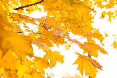 Bright yellow maple leaves on the trees against the sky. Autumn Stock Images