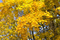 Bright yellow maple leaves on the trees against the sky. Autumn Royalty Free Stock Photos