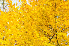 Bright yellow maple leaves on the trees against the sky. Autumn Royalty Free Stock Photo