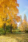 Bright yellow maples in fall. Autumn landscape with bright yellow maples and fallen leaves on green grass stock image
