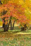 Bright yellow maples in fall. Autumn landscape with bright yellow maples and fallen leaves on green grass stock photo